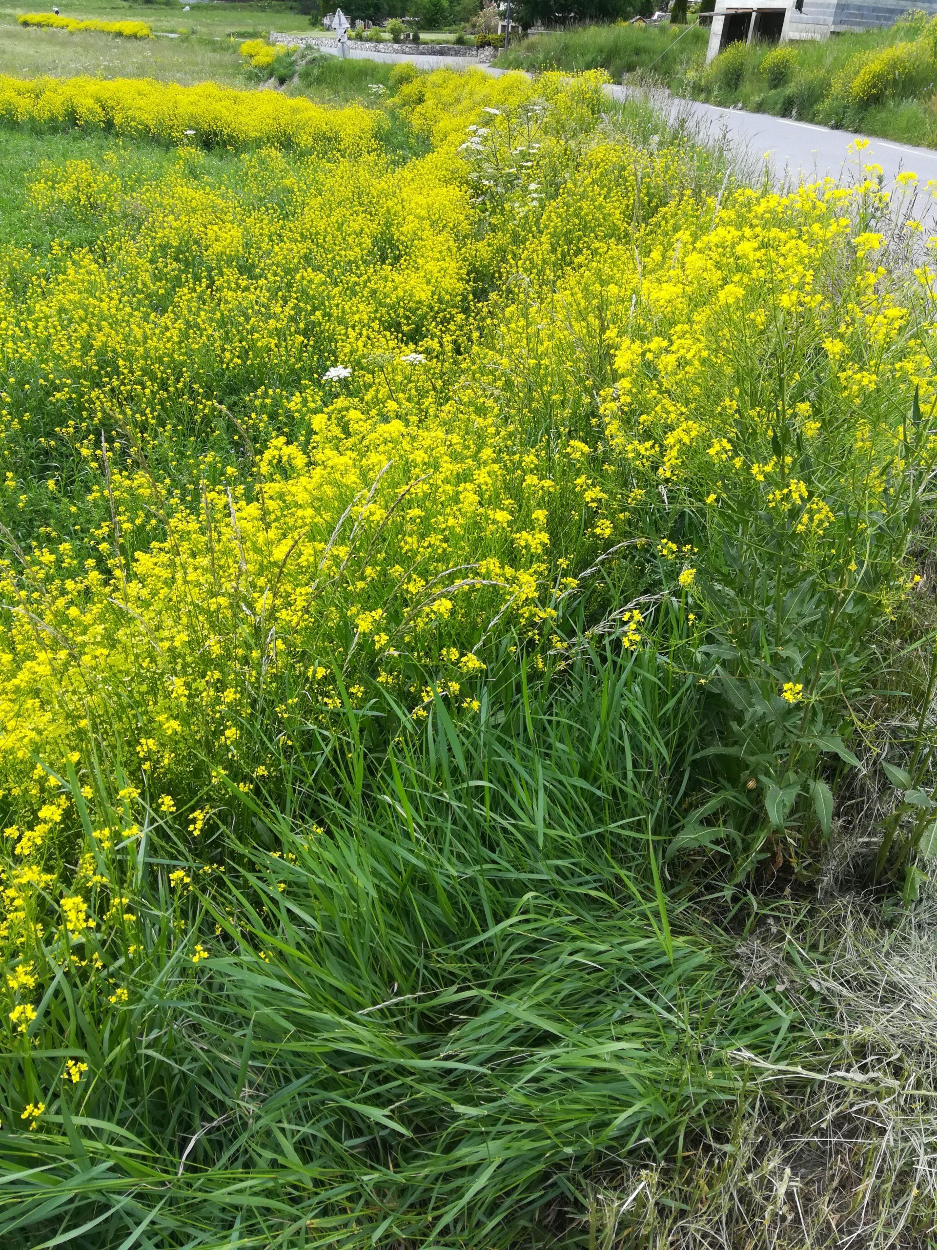 Chantier bénévole pour l'arrachage d'une plante invasive présente en Clarée : le Bunias d'Orient